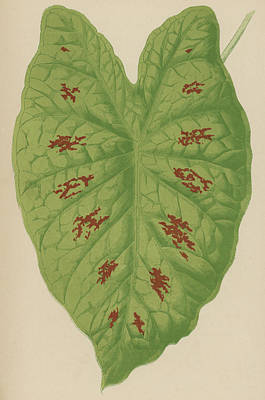 Caladiums Painting - Caladium Verschaffelti by English School