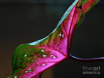 Photograph - Caladium01 by Mary Kobet