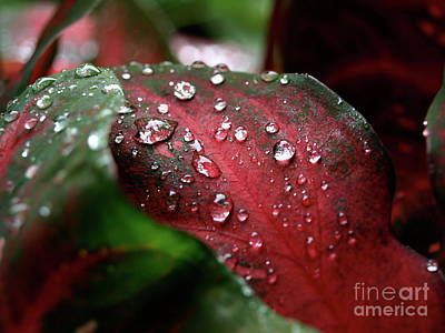 Photograph - Caladium02 by Mary Kobet