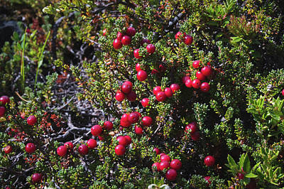 Argentina Photograph - Calafate Berries On Tree In Patagonia by Blaz Gvajc