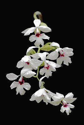Photograph - Calanthe Vestita Orchid by Rudy Umans