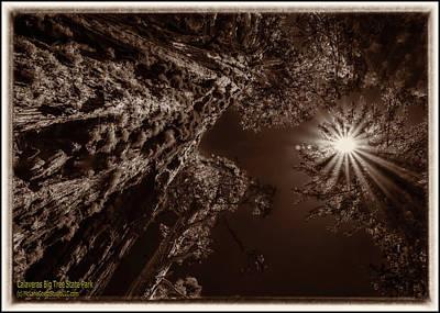 Photograph - Giant Sequoia Trees I Monochrome by LeeAnn McLaneGoetz McLaneGoetzStudioLLCcom