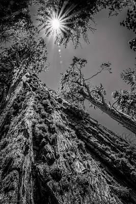 Photograph - Calaveras Big Trees State Park Monochrome by LeeAnn McLaneGoetz McLaneGoetzStudioLLCcom