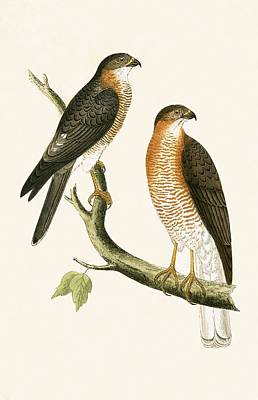 Lovers Art Drawing - Calcutta Sparrow Hawk by English School