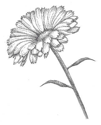 Studio Drawing - Calendula by Christy Beckwith