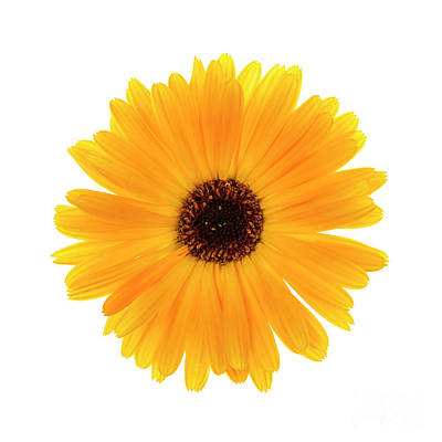 Photograph - Calendula Flower by Elena Elisseeva