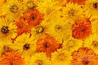 Calendula Flowers Art Print by Elena Elisseeva