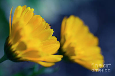 Photograph - Calendula Flowers by Sharon Mau