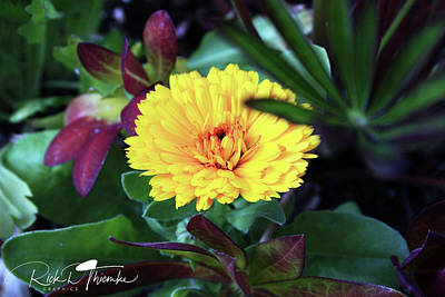 Photograph - Calendula by Rick Thiemke