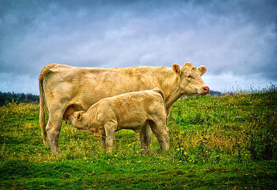 Photograph - Calf And Mother by Carolyn Derstine