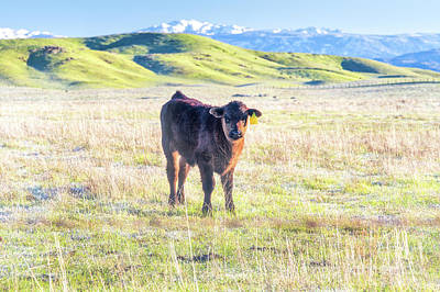 Photograph - Calf by Anthony Bonafede