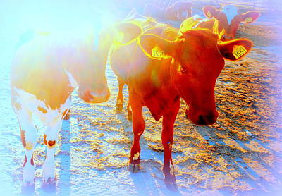 Freedom For The Calfs  Art Print
