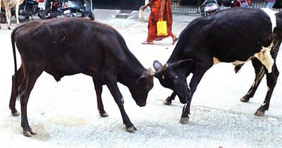 Photograph - Calf Fighting by Ragunath Venkatraman