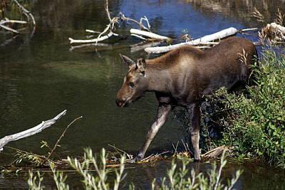 Calf Moose Art Print by Marty Koch