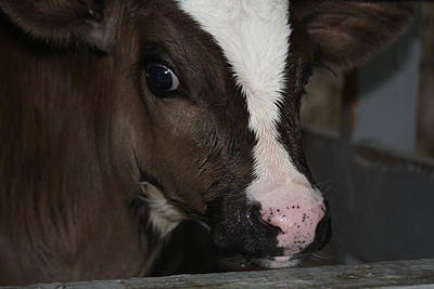 Photograph - Calf Portrait by Vadim Levin