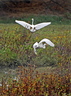 Photograph - Cali Coast Pt Arena Great Egrets by Jeff Brunton