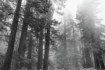 Photograph - Cali Coast Redwoods Bw by Jeff Brunton