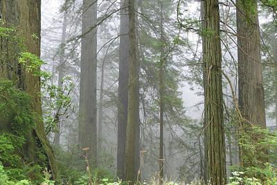 Photograph - Cali Coast Redwoods by Jeff Brunton