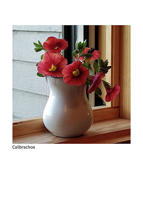 Photograph - Calibrachia by Betsy Derrick