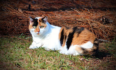 Of Calico Cats Photograph - Calico Beauty by Cynthia Guinn