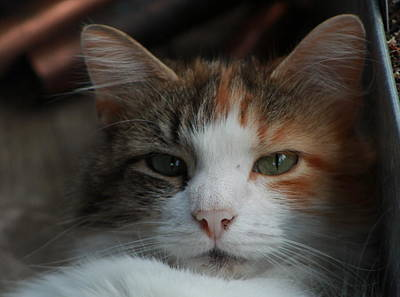 Photograph - Calico by Brad Chambers