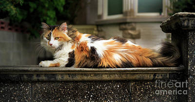 Photograph - Calico Cat by Craig J Satterlee