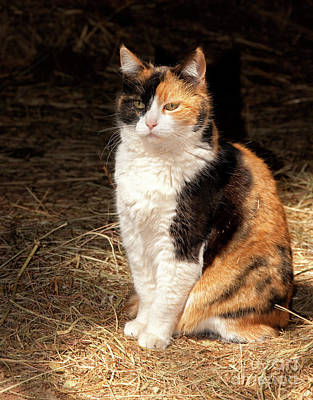 Photograph - Calico Cat In A Sun Beam by Sari ONeal