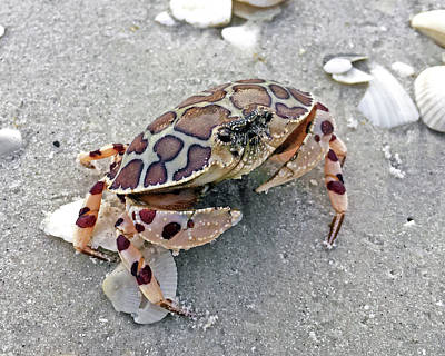 Photograph - Calico Crab by Robb Stan