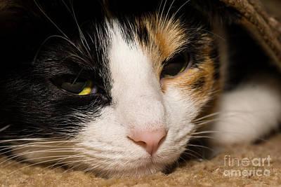 Photograph - Calico Face by Jennifer White