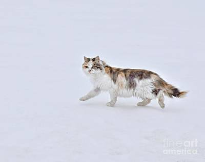 Photograph - Calico Huntress by Kathy M Krause