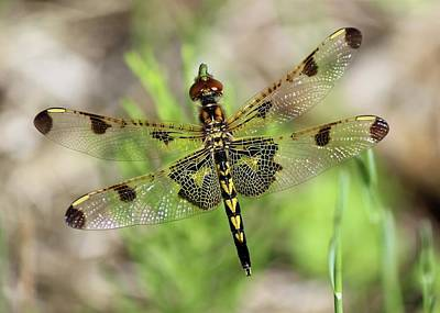 Photograph - Calico Pennant  by David Pickett