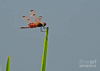 Photograph - Calico Pennant Dragonfly by Donna Brown