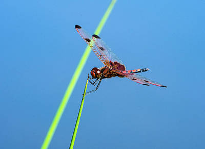 Photograph - Calico Pennant Skimmer On Apical Point Of Grass Blade by Douglas Barnett