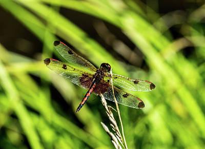 Photograph - Calico Pennant Skimmer On Grass Seeds by Douglas Barnett