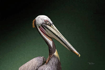 Photograph - Calif. Pelican by Bill Posner