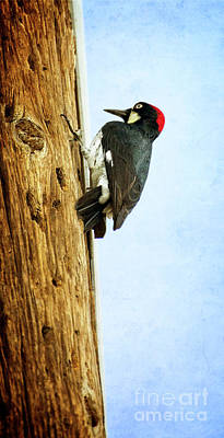 Photograph - California Acorn Woodpecker by Jim And Emily Bush