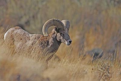 Photograph - California Bighorn Ram by Gary Wing
