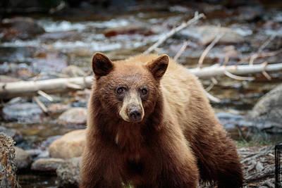 Photograph - Californian Black Bear  by Duncan Selby