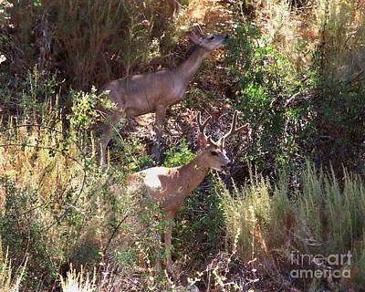 Photograph - California Black Tailed Deer Photograph by Kristen Fox