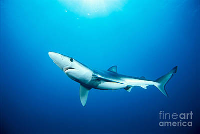 Silver Turquoise Photograph - California, Blue Shark by Dave Fleetham - Printscapes