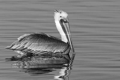 Photograph - California Brown Pelican - Black And White - Monochrome by Ram Vasudev