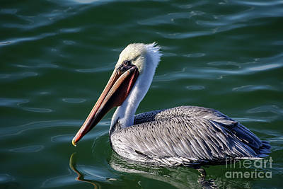Art Print featuring the photograph California Brown Pelican In Late Summer by Susan Wiedmann