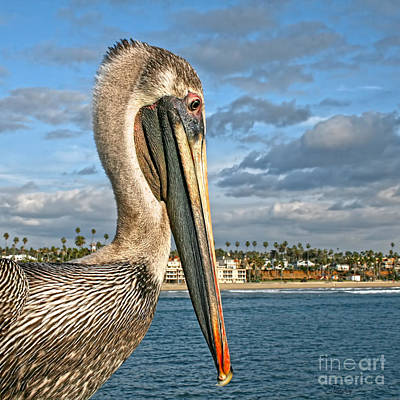 Photograph - California Brown Pelican Portrait by Gabriele Pomykaj