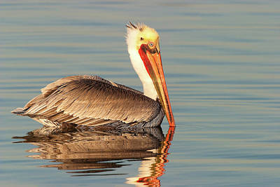 Photograph - California  Brown Pelican by Ram Vasudev