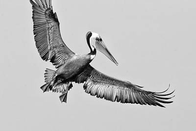 Photograph - California Brown Pelican With Stretched Wings - Black And White - Monochrome by Ram Vasudev