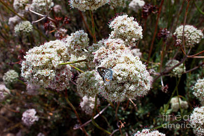 Photograph - California Buckwheat by Ivete Basso Photography