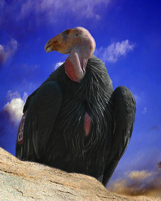 Photograph - California Condor by Anthony Jones