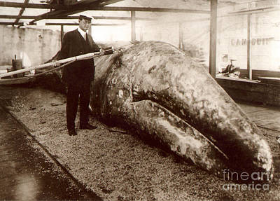 Photograph - California Gray Whale And Capt. John D. Loop Circa 1915 by California Views Mr Pat Hathaway Archives
