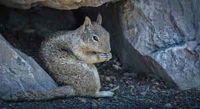 Photograph - California Ground Squirrel 2 by Rick Mosher