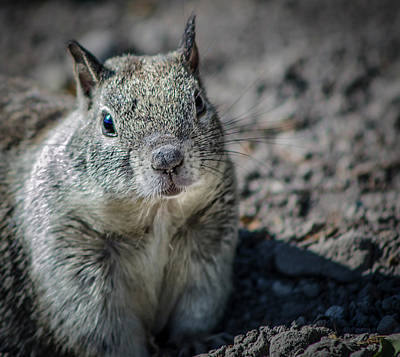 Photograph - California Ground Squirrel 5 by Rick Mosher